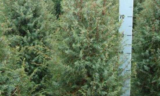 Juniperus communis 'Suecica' / schwedischer Säulen-Wacholder