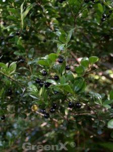 Ilex crenata 'Convexa' / Löffel-Ilex - gute Alternative zum Buxus für die Bepflanzung von Hohlkammersteinen