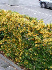 Feuerdorn / Pyracantha - hier die Sorte Soleil d'Or - bringt ganzjährig Farbe in den Garten