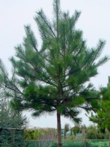Pinus nigra ssp. nigra / Österreichische Schwarz-Kiefer als Hochstamm -bietet guten Sichtschutz im Bereich von Obergeschossen