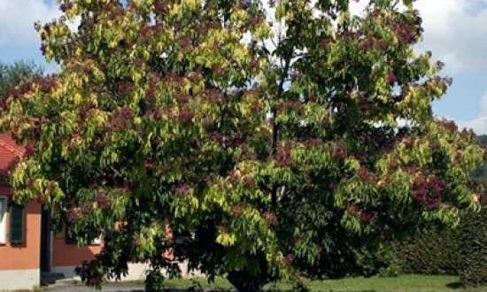 Tetradium daniellii / Samthaarige Stinkesche / Bienenbaum / Honigesche - benötigt in jungen Jahren einen Winterschutz