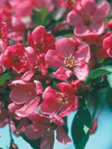 Malus 'Liset' / Zierapfel 'Liset' - bildet wunderschöne Blüten