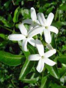 Jasminum officinale / Echter Jasmin - duftet süßlich, aber nicht so intensiv, wie der Jasminum sambac