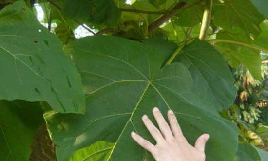 Blätter der Paulownia tomentosa / Blauglockenbaum / Paulownie sorgen für guten Sichtschutz