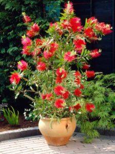 Callistemon viminalis 'Captain Cook' / Zylinderputzer 'Captain Cook' - sehr schöne Kübelpflanze, sollte vor Frost geschützt werden