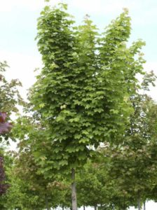Acer platanoides 'Farlake's Green' / Spitzahorn 'Farlake's Green' - wird häufig als Straßenbaum gewählt