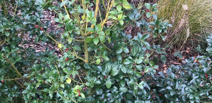Blätter des Ilex verfärben sich gelblich - was kann die Ursache sein?