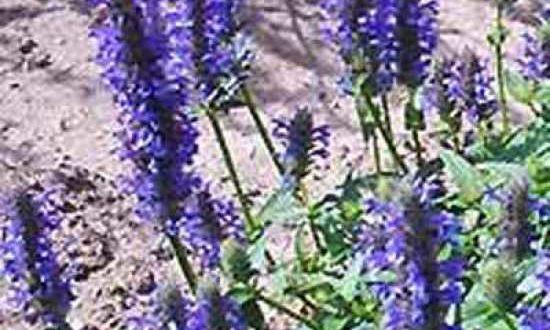Nepeta nervosa / Kaschmir-Katzenminze - Bodendecker, der sich für vollsonnige Hang-Standorte eignet