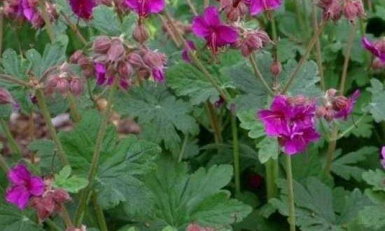 Geranium macrorrhizum 'Czakor' / Balkan-Storchschnabel - bildet einen dichten Teppich mit intensiv gefärbten Blüten
