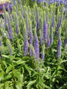 Veronica spicata 'Ulster Dwarf Blue' / Ehrenpreis - zwischen und 8 und 16 Pflanzen pro m² sind empfehlenswert
