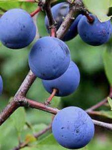 Prunus spinosa / Schlehe / Schwarzdorn