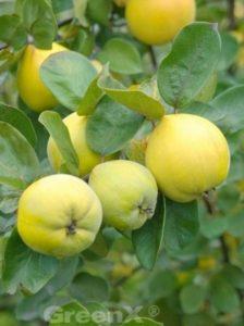Cydonia oblonga 'Leskovacka' / Quitte 'Leskovacka' - frostunempfindlich und ertragreich