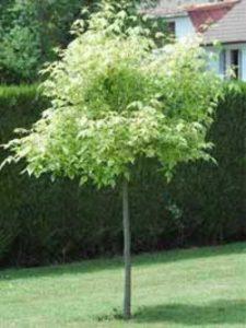Acer negundo 'Aureomarginatum' / Eschen-Ahorn 'Aureomarginatum' - mittelstark wachsender Baum, der gut für sonnige Standorte geeignet ist