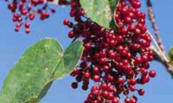 Früchte der Idesia polycarpa / Orangenkirsche