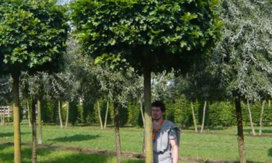 Quercus palustris 'Green Dwarf' / Kugelsumpfeiche - Wurzeln wachsen in Herzform