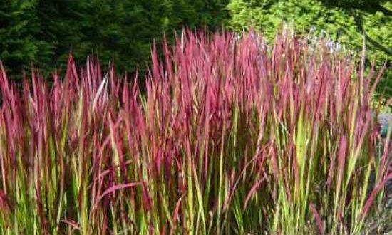 Imperata cylindrica 'Red Baron' / Japanisches Blutgras - breitet sich eher selten aggressiv aus.