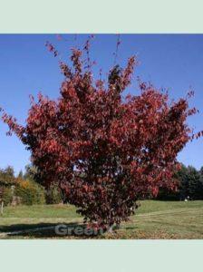 Prunus sargentii / Scharlach-Kirsche - kann als Containerware ganzjährig gepflanzt werden