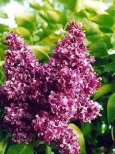 Syringa vulgaris 'Prince Wolkonsky' / Gartenflieder / Gewöhnlicher Flieder / Edelflieder