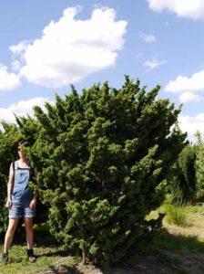 Juniperus chinensis 'Blaauw' / Blaunadeliger Zwergwacholder