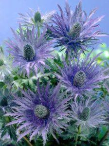 Eryngium alpinum 'Blue Star' / Garten-Edeldistel