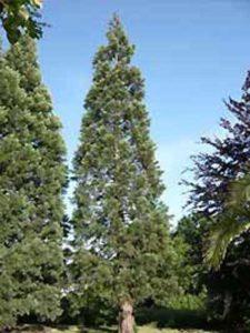 Sequoiadendron giganteum / Mammutbaum / Bergmammutbaum