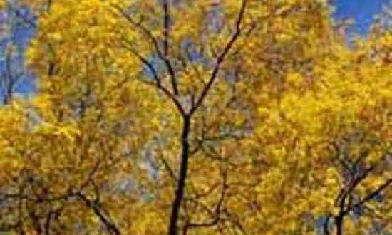Sophora japonica / Japanischer Schnurbaum / Perlschnurbaum / Honigbaum - Früchte sind für Menschen und Tiere giftig