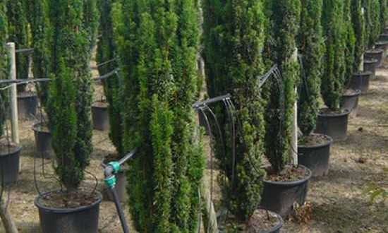 Taxus baccata 'Fastigiata Robusta' / Säulen-Eibe - gut für schmale Pflanzbeete geeignet