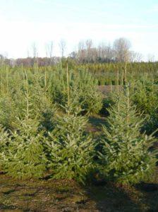 Picea omorika / Serbische Fichte -eine ungiftige HeckenpflanzePicea omorika / Serbische Fichte -eine ungiftige Heckenpflanze