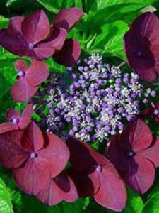 Hydrangea macrophylla 'Rotschwanz' ('Redstart') / Teller-Hortensie 'Rotschwanz'