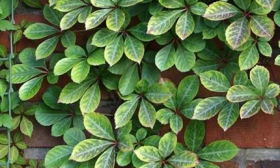 Parthenocissus henryana / Chinesische Jungfernrebe - als Begrünung von einer Holzwand geeignet