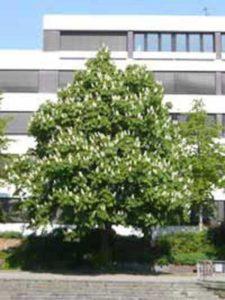 Aesculus hippocastanum / Gewöhnliche Rosskastanie - so saftig grün sollten Kastanienbäume aussehen