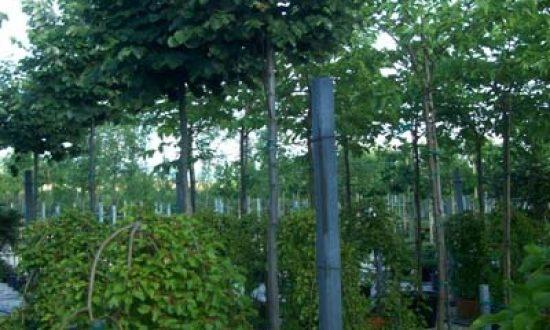 Tilia cordata 'Green Globe' / Kugel-Winter-Linde - ist frosthart, anspruchslos und bildet eine tolle Kugelkrone aus