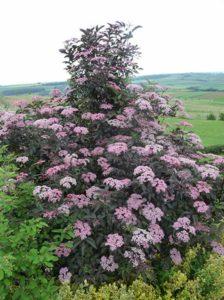 Sambucus nigra 'Black Lace ®' / Rotblättriger Schlitz-Holunder - windfest, frosthart und gleichzeitig ein echter Hingucker