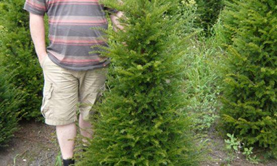 Taxus baccata / heimische Eibe 125-150 cm Solitär - 80-100 Gramm Dünger pro m² sind empfehlenswert