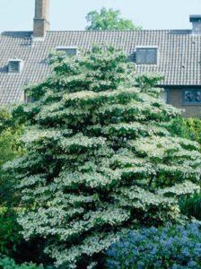 Viburnum plicatum 'Mariesii' / Japanischer Etagen-Schneeball