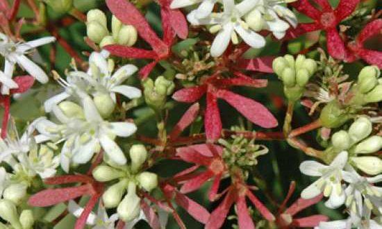 Blüten des Heptacodium miconioides / Sieben-Söhne-des-Himmels-Strauchs