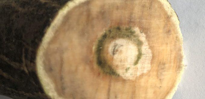 Anzeichen für Verticillium-Welke im abgeschnittenen Ast