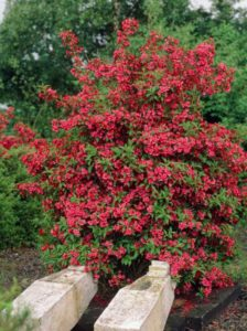 Weigela 'Red Prince' / Weigelie 'Red Prince'