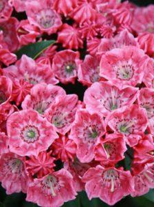 Für eine optimale Blüte ist eine Düngung von Kalmia / Lorberrosen - wie hier die Kalmia latifolia 'Carol' - empfehlenswert