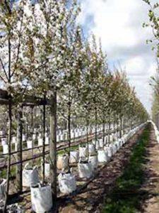 Amelanchier arborea 'Robin Hill' / Felsenbirne - gut als Hausbaum geeignet