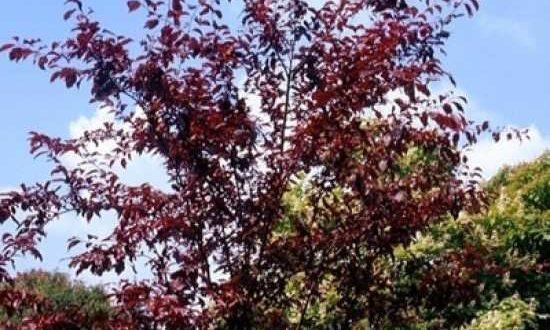 Was sind gute Befruchter für eine Prunus 'Trailblazer' / Kirschpflaume 'Trailblazer' / Essbare Blutpflaume 'Trailblazer'