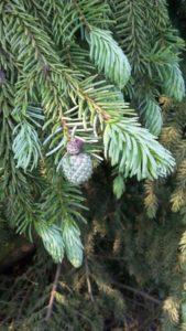 Auswüchse an Serbischer Fichte / Picea Omorika