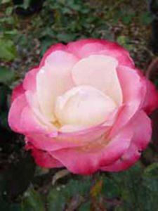 Rosa 'Nostalgie ®' / Edelrose 'Nostalgie'