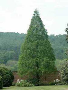 Metasequoia glyptostroboides / Urweltmammutbaum / Wasserlärche / Wassertanne