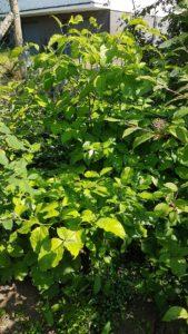 Amerikanischer Blumenhartriegel / Cornus Florida blüht nicht