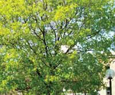 Spitzahorn / Acer platanoides - gerne gewählter Stadtbaum