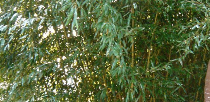 Bambus Phyllostachys - wie hier der Spectabilis - benötigt unbedingt eine Rhizomsperre