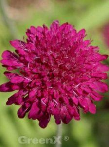 Knautia macedonica / Purpur-Witwenblume
