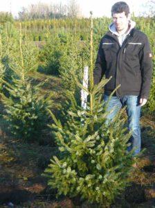 Picea omorika / Serbische Fichte 150-175 cm mit Ballierung - hiervon benötigt man ca. 2 Stück pro Meter Hecke
