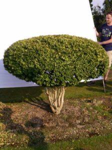 Buxus sempervirens 'Schirm' H: 140 cm B: 160 cm / Garten-Bonsai (0074)